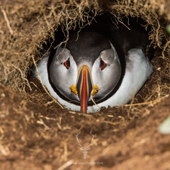 Into the Burrow (James Shooter) Tags: sea portrait coast scotland native feathers coastal puffin seabird atlanticpuffin fraterculaarctica auk ukwildlife