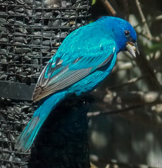 Indigo Bunting (mahar15) Tags: nature birds closeup wildlife indigobunting backyardbirds maleindigobunting