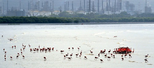 Flamingos at Sewri-2