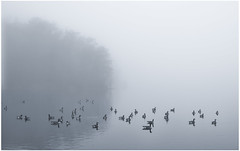 Geese In Fog (sorrellbruce) Tags: mist misty fog geese foggy dreary canadiangeese fairfax damp burkelake seasonofmists silverefexpro fairfaxparks lightroom5 fujixe2