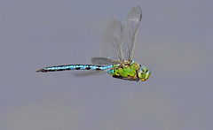 Emperor Dragonfly in Flight (tsbl2000) Tags: dragonfly emperordragonfly tamron150600mm oldlodge sussexwildlifetrust nikond810 naturethroughthelens