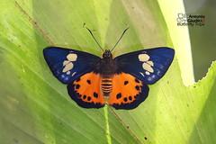 The Orange Flat -  (Antonio Giudici Butterfly Trips) Tags: thailand khaosoknationalpark butterflies lepidoptera theorangeflat  hesperiidae pyrginae pintarapinwillipinwilli