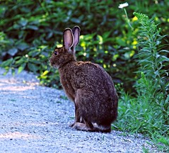 Wild rabbit in the meadow (Sky Solar) Tags: rabbit meadow green bunny rodent hare brown grass fauna cute mammal furry jack hunting animal wildlife nature magog eastern wild