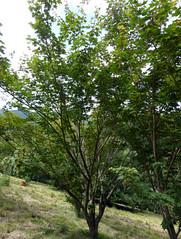 Acer micranthum Sieb. & Zucc. 1870 (SAPINDACEAE) (helicongus) Tags: acermicranthum acer sapindaceae jardnbotnicodeiturraran spain tree habit