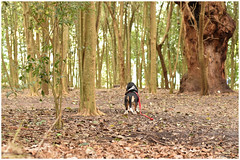 The wolf in the forrest (Fernando Casais) Tags: forrest aire libre wood dog pet basset