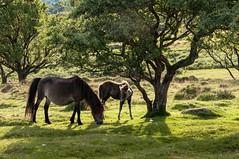 Wild pony and foal _Nik-9829 (Jean Fry) Tags: dartmoor dartmoornationalpark dartmoorponies devon englanduk horses moorland nationalparks ponies uk westcountry foals trees