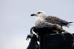 Great Black-backed Gull (grahamh1651) Tags: newlyn newlynharbour tolcarne birds seabirds gulls swans waders shorebirds