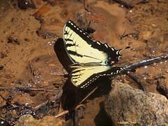 Cool Water (tripod_treker) Tags: swallowtail butterfly water stream creek rocks insects