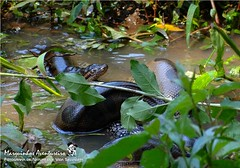 SUCURI (Eunectes murinus) - a famosa Anaconda (SUCURI Snake - the famous Anaconda) (Marquinhos Aventureiro) Tags: wildlife vida selvagem natureza floresta brasil brazil marquinhosaventureiro hx200 cobra snake eunectes murinus sucuri anaconda