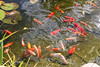 Goldfishes in the garden (Ingunn Eriksen) Tags: goldfish goldfishpond