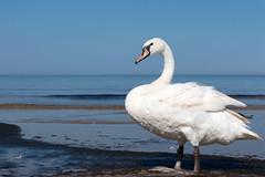 Swan (Ervins Strauhmanis) Tags: muteswan bird animal white feathers beach water seaside marine coast waterfowl wildfowl