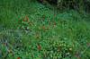 Tropaeolum majus, Fumaria capreolata and Stenotaphrum secundatum, Green Place Reserve, Mosman Park, Perth, WA, 12/08/16 (Russell Cumming) Tags: plant weed tropaeolum tropaeolummajus tropaeolaceae fumaria fumariacapreolata papaveraceae stenotaphrum stenotaphrumsecundatum poaceae greenplacereserve mosmanpark perth westernaustralia