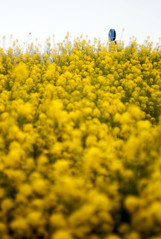 L1008464c (haru__q) Tags: leica m8 leitz summicron field mustard 菜の花