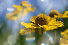 heleniums (C-Smooth) Tags: flowers helenium garden floral bokeh summer light colours yellow blue macro delicious nature botanical