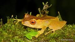Frog (Ecuador Megadiverso) Tags: amazon amphibian anura frog lizanes puyo andreaskay ecuador