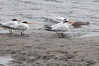 Casual Elegance (martytdx) Tags: august ca sanfrancisco birding birds tern eleganttern thalasseuselegans thalasseus sternidae adult immature crissyfield crissyfieldlagoon lifelist