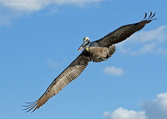 Brown Pelican (Adult) (Jon Cormorant) Tags:
