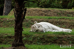 Tigre blanc - Zoo La Fleche - 20160817 (0949) (laurent lhermet) Tags: sel55210 zoo zoodelafleche tigre tigreblanc