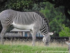 Zebra (SamJWilsonPhotography) Tags: samwilsonpics sjwpics sjw sky stream shine sunny samjwilsonphotography animals nature photography naturephotography wildlife wild stripes zebra blackwhite grass meadow zoo zsl whipsnade outdoors outside main mane ears belly body sideview exposure sharpness