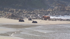 Cows on the Beach (Rckr88) Tags: cows beach cowsonthebeach portstjohnseasterncape southafrica port st johns portstjohns sea water ocean waves wave easterncape eastern cape south africa animals animal coast coastline coastal rocks rock rockycoastline travel outdoors nature
