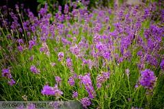 PLW_5565 (Laszlo Perger) Tags: wien vienna sterreich austria blumengarten hirschstetten flowergarden
