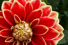 rote Dahlie (kristin.mockenhaupt) Tags: nature natur wiese meadow frhling sommer summer spring springtime flower blume dahlie dahlia makro macro bloom blte