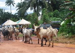 Cows - Orlu - Imo State 20160902-01Ch (Delondiny) Tags: nigeria orlu imostate cow cows whitecows bostaurus