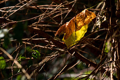 IMG_0003_2 Fall in the Bones (oldimageshoppe) Tags: leaves fallcolors sticks bones backlight fall