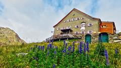 Hochjoch Hospiz (2413m) - Tirol - Austria (Felina Photography, back in NL) Tags: hochjochhospiz monnikskap aconite aconitum