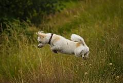 (Ian Threlkeld) Tags: nikon nikonphotography nikonphotos mynikonlife britishcolumbia pittmeadows pittmeadowsdykes dogs rescuedogs animals dogsofflickr adogslife pets cute cuteness irt bc flickr explore explorebc