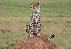 Cheetah cub, Masai Mara. Kenya. (welloutafocus) Tags: cats africa kenya cheetah predator cubs savannah