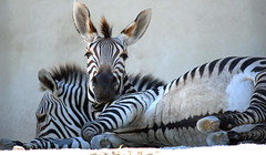 What Do You Mean, Stand Up? (MTSOfan) Tags: zebras zoo stripes resting lazy sluggish