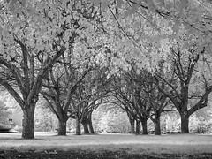 P9210007 - The Organic Archway (Syed HJ) Tags: olympusem5 olympus em5 fujian50mmf14 fujian50mm fujian 50mm cctvlens cctv blackwhite blackandwhite bw 950nm infrared ir trees tree
