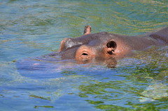 Hippo reflections (dfromonteil) Tags: hippopotame hippo animal water eau rivire fleuve river nature light lumire reflets reflection colors green vert brown marron wild wildlife