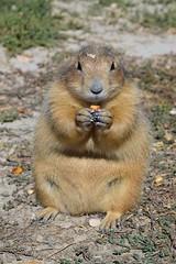 The prairie dog eating (sharonjanssens) Tags: nature dire usa prairie animal prairiedog mammal ngc