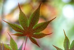 Maple leaf (JPShen) Tags: leaf maple color changing bokeh nature