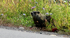 (timetomakethepasta) Tags: woodchuck mammal animal outdoors nature new york photography roadside green grass