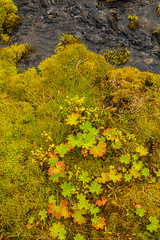 Lady's mantle / Marustakkur (Alchemilla vulgaris) on the moss in Hinsfjrur (thorrisig) Tags: 04092016 hinsfjrur marustakkur haustlitir lkur mosi nrmynd vatn iceland sland island icelandicnature slensknttra thorrisig thorfinnursigurgeirsson orrisig thorri thorfinnur orfinnur orri orfinnursigurgeirsson sigurgeirsson sigurgeirssonorfinnur dorres ladysmantle alchemillavulgaris