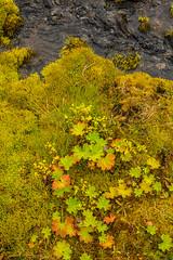 Lady's mantle / Maríustakkur (Alchemilla vulgaris) on the moss in Héðinsfjörður (thorrisig) Tags: 04092016 héðinsfjörður maríustakkur haustlitir lækur mosi nærmynd vatn iceland ísland island icelandicnature íslensknáttúra thorrisig thorfinnursigurgeirsson þorrisig thorri thorfinnur þorfinnur þorri þorfinnursigurgeirsson sigurgeirsson sigurgeirssonþorfinnur dorres ladysmantle alchemillavulgaris