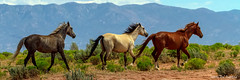 Grey, White and Chestnut Horse Panorama (Striking Photography by Bo Insogna) Tags: horses heard horse white gray chestnut mustang field nature wild landscape meadow sky animal grass farm mammal pasture equine beautiful grazing rural country countryside stallion range colorado insogna running