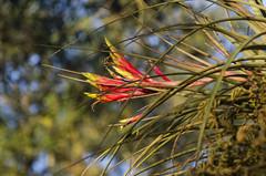 Dash of colour DSL6971 (iloleo) Tags: flower bromeliad bonitasprings bokeh red nikond7000 florida nature colourful