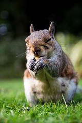 Omnomnomnomnom (explored 28/9/16) (james keats) Tags: yorkmuseumgardens york yorkshire nikond7200 nikon d7200 greysquirrel squirrel