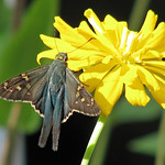 Long-tailed skipper - on yellow zinnia thumbnail
