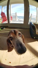 fisheye buttersnap (patchattack) Tags: bassethound basset dog hound butters
