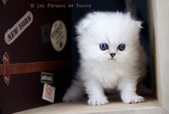 Les Persans de Fannie (Les Persans De Fannie) Tags: voyage cats pets cat persian chats kitten chat chinchilla animaux fannie chaton chatons persan
