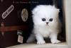 Les Persans de Fannie (Les Persans De Fannie) Tags: voyage cats pets cat persian chats kitten chat chinchilla animaux fannie chaton chatons persan