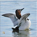 Strutting Canvasback