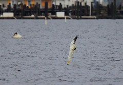 Moment of impact - Northern gannet - Great Kills Harbor, Staten Island, NY (superpugger) Tags: norhtern gannet northern statenislandwildlife newyorkcitywildlife shorebirds divingbirds statenislandoutdoors birds bird seabirds lawrencepugliares lpugliares northerngannet