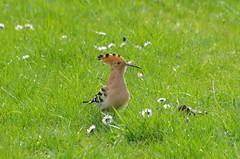 Thse-la-Romaine (Loir-et-Cher) (sybarite48) Tags: france bird pssaro hop oiseau poupa hoopoe vogel pjaro uccello  ku ptak loiretcher wiedehopf  upupa abubilla  huppefascie       ibibik thselaromaine dudekptak