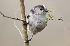 long tail tit busy nest building (Chiv3) Tags: bird spring longtailedtit radleylakes
